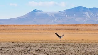 Download Wildlife Photography: Bald Eagle Catching Prey Video