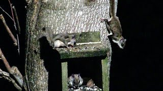 Download Flying Squirrels - The Most Amazing Animals People Rarely See Video