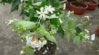 Download How to make bonsai Parijat/Shiuli (Night Jasmine) plant (with English subtitle) Video