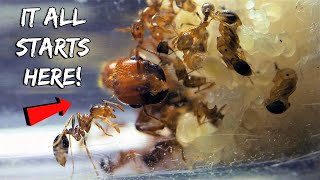 Download STARTING A NEW FIRE ANT COLONY | REBIRTH OF THE FIRE ANTS Video