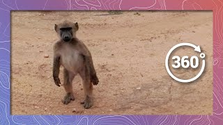 Download A Troop of Baboons March By in 360 4K Video