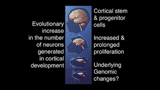 Download Human-Specific Genes and Neocortex Expansion in Development and Evolution Video
