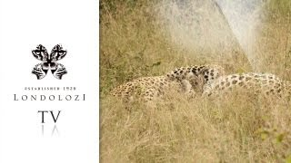 Download The Ultimate Male Leopard Fight - Amazing Footage - Londolozi Video