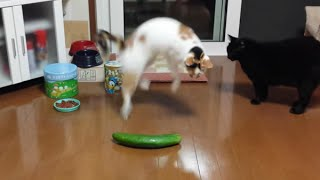Download Funny Cats Scared of Random Things and Cucumbers Compilation! Video