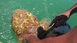 Download Sea turtle rescue in Islamorada, Florida Video