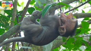 Download Seriously weaning make RITO baby fall down from high tree|Pity baby crying loudly|Monkey Daily822 Video