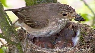 Download Lejsek šedý-Muscicapa striata-Spotted Flycatcher Video