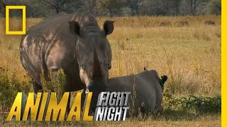 Download The Bullying Bull Rhino | Animal Fight Night Video