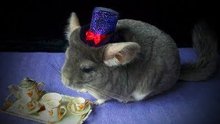 Download Funny Chinchilla 🐭😂 Funniest and Cutest Chinchillas Playing (Full) [Funny Pets] Video