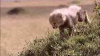 Download Cheetah separated from mother - BBC wildlife Video