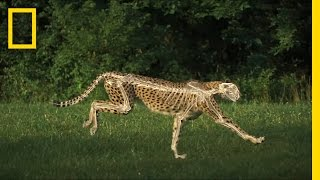 Download The Science of a Cheetah's Speed | National Geographic Video