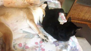 Download ヘンテコな寝ぼけ顔の柴犬をクールな顔で押しつぶす猫 Shiba inu's half asleep face Video