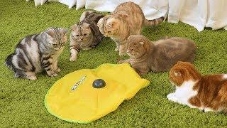 Download 지금껏 이런 고양이 장난감은 없었다! 최고의 반응! 꿀잼 Video