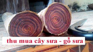 Download Khai thác lõi vườn cây gỗ sưa đỏ 20 năm tuổi, thu mua gỗ sưa cây sưa 0968567238 Video