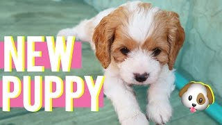 Download MY NEW PUPPY!! | Peach the Cavapoodle Comes Home! Video