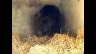 Download Misha has a new straw... (info about bears - niedzwiedzie@schronisko.info.pl) Video