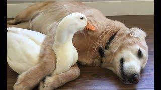 Download 「絶対笑う」最高におもしろ犬,猫,動物のハプニング, 失敗画像集 #29 Video
