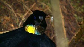 Download Birds of Paradise, Paradiesvögel, Burung Cendrawasih, Papua, Indonesia Video