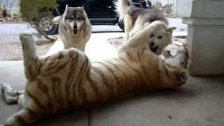 Download Tiger vs Dog Pack Video