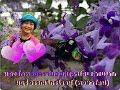 Download หลงรักพวงครามออสเตรเลีย สวยมาก I love beautiful Bluebird Vine(Queen's wreath). Video