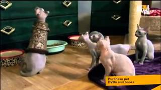 Download Too Cute Sphynx Part 2 Video