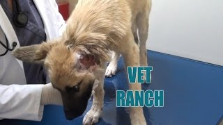 Download Puppy With Missing Ear Rescued at the Last Minute! Video
