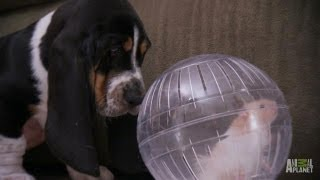 Download Max the Basset and Dot the Hamster | Too Cute! Video