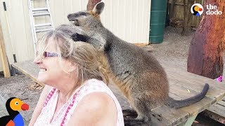 Download Rescue Wallaby Loves To Drive His Parents Nuts - LUCKY | The Dodo Video