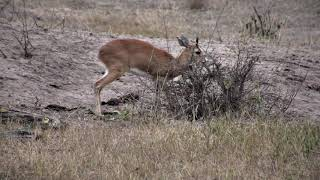 Download Djuma: Steenbok male feeding around Vuyatela Pan - 17:12 - 10/18/18 Video