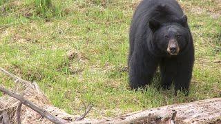 Download Black Bears - Yosemite Nature Notes - Episode 26 Video