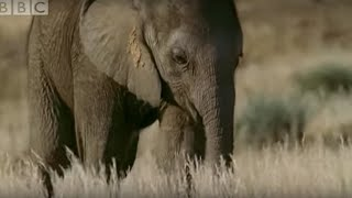 Download Orphan elephant baby's struggle for survival - BBC animals Video