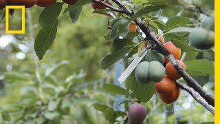 Download This Crazy Tree Grows 40 Kinds of Fruit | National Geographic Video