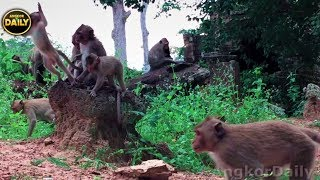 Download A bit fighting from Alpha to mummy/ mummy monkey Crying. Angkor Daily 508 Video