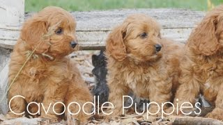 Download Cavoodle puppies running around!! Video