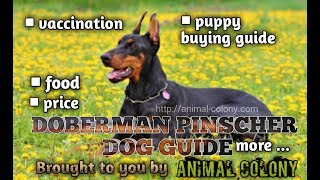 Download DOBERMAN PINCHER DOG GUIDE || FOOD || PUPPY BUYING || VACCINATION|| PRICE || MANY MORE ✅ Video