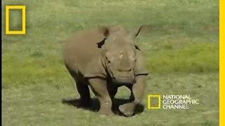 Download Saving the Black Rhino | National Geographic Video