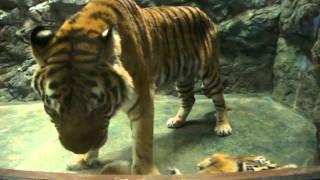 Download お母さんにじゃれつく かわいい虎 ( トラ ) の子供 in 日本平動物園.MP4 Video