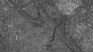 Download Djuma: Large spotten Genet in tree - 19:30 - 03/23/19 Video