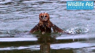 Download Release goes wrong, owl nearly drowns Video