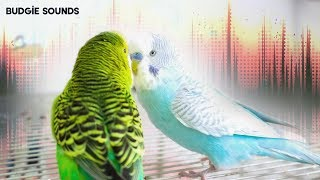 Download Cute & Noisy - Budgie sounds Video