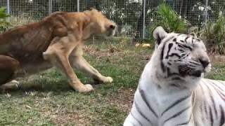 Download Tiger White Tiger Lion Tiger Tiger Lion Video