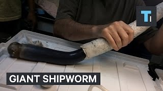 Download Giant shipworm just gave scientists new clues about some of the weirdest life forms on Earth Video