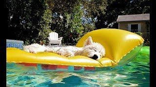 Download Husky Puppy Sleeps On Float In Pool In Florida❤️! Video