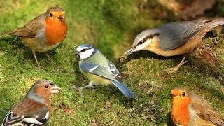 Download Videos for Cats to Watch : Birds in Woodland Wonderland Video