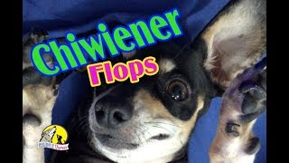 Download Teaching a Little Dog Tricks! This is how to Little Dogs Tricks. Video