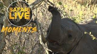 Download Little Elephant Learning to Use its Trunk Video