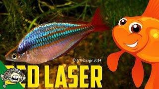 Download Wapoga Red Laser Profile Rainbowfish. Melanotaenia Rubrivittata. Video
