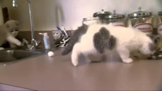 Download British Shorthair kittens, Too Cute Season 2, Episode 7 Video