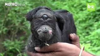 Download Cyclops goat born with one eye is worshipped by villagers in India Video