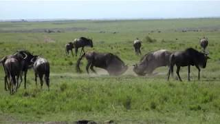 Download WE Migration update: Have you herd? Video